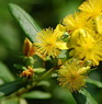 St Johns wort Altsberglotion Products